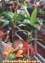 Dừa Bonsai hình trâu  dừa kiểng bonsai trâu gỗ dừa