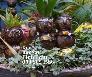 Dừa Bonsai kiểng hình trâu đứng