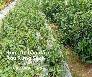 Rau Bầu Đất Ăn lành sống mạnh thực phẩm xanh tử tế