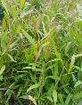 Tràm Úc cây giống tràm sỉ số lượng lớn