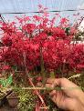 Bán hết lô phong lá đỏ Nhật Bản siêu đỏ siêu đẹp, giá dọn vườn