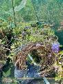 Hoa Tử Đằng Nhật Bản ra hoa quanh năm