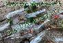 Nơi bán Giống sen mini cảnh trồng chậu cảnh sân vườn