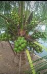 Cây Giống Dừa Xiêm Lùn