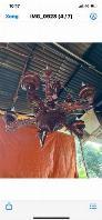 Đèn chùm bằng gỗ Cẩm Lai trang trí phòng khách quý khách