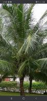 Bán cây dừa lớn