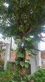 Bán cây lộc vừng cao 6m - 12 năm tuổi - đường kính tán lá 4m