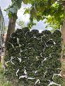 Cỏ Kiểng cỏ sân vườn