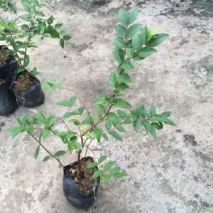 Giống cây nho thân gỗ Jabuticaba