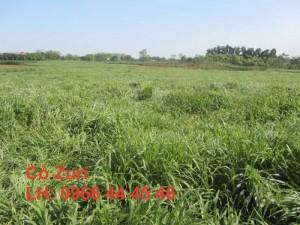 Cỏ chăn nuôi bò dê thỏ : Zuri Thái Lan