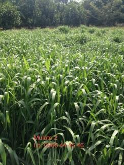 Các loại cỏ nuôi dê