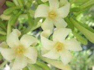 Hoa đu đủ đực, chữa bệnh ung thư, chữa ho hiệu quả