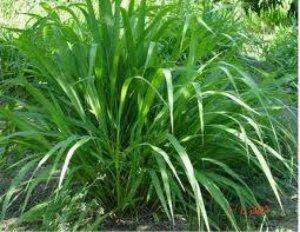 Cỏ ghi nê: giống cỏ sinh trưởng mạnh, năng suất cao, khả năng chịu hạn