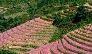 Tour du lịch Hà Giang – Lễ hội hoa tam giác mạch 2015