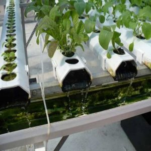 Đá Perlite trồng thủy canh ở hộ gia đình và doanh nghiệp