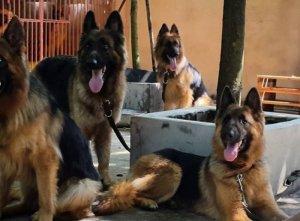 Bán chó becgie đức thuần chủng cực đẹp