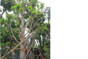 Tôi chuyên mua bán cây cảnh, cây xanh, cây công trình, cung cấp số lượng lớn cây Thala, câyLộc Vừng, Cây Sanh, Cây Sa kê cho các dự án, Resort, nhà vườn