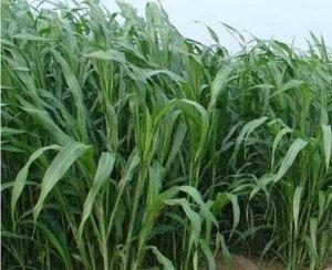 Hạt giống cỏ chăn nuôi sudan