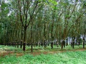 Bán Gấp 3 Mẫu Cao Su Tại Vĩnh Hòa Phú Giáo...