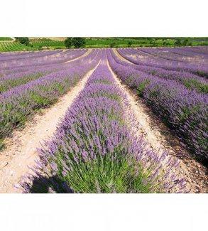 Hạt Giống Hoa Oải Hương (Lavender, Lavandula Angustifolia)