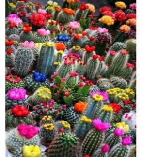 Hạt Giống Cây Xương Rồng (Cactus)