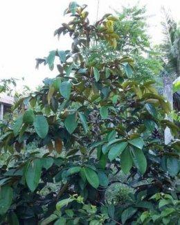 Bán cây diệp tết