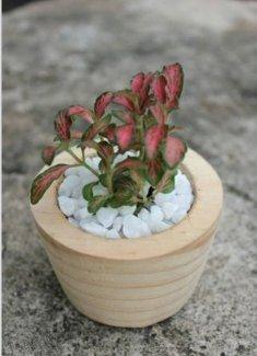 Cây may mắn/Fittonia hồng trong chậu gỗ mini
