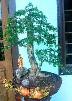 Bán cây trà phúc kiến đẹp rẻ