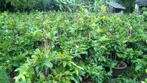 Cung cấp hoa Tết - Vườn mai Hoa Công