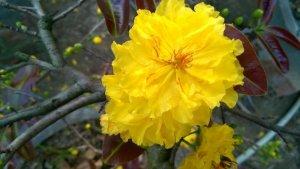 Cung cấp hoa Tết - Vườn mai Hoa Công: Giống mai Cúc