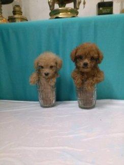 Teacup Poodle Siêu Mini Bỏ Túi, 3 Tháng , Tuổi,nặng 300 Gr (3 Lạng ) , Lông Dài Xoắn , MÀU NÂU ĐỎ , Thuần Chủng 100% Sinh Tại Vn,  ĐÃ CHỦNG NGỪA