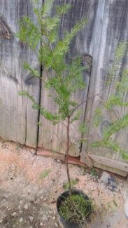 Cây thông đỏ Đà lạt