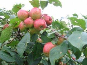 Cây táo, cây lê