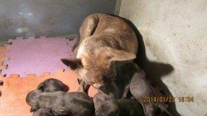 Trại Chó Phú Quốc Thuần Chủng Tại Hà Nội