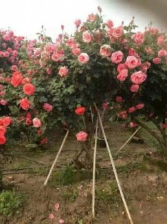 Hoa hồng tree rose đẹp rẻ tại Đà Lạt