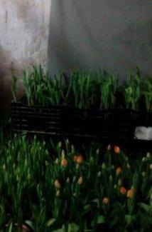Hoa phong lan, lyly, tulip phục vụ Tết nguyên đán