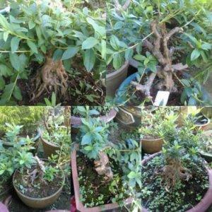 Đỗ quyên bonsai