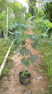 Kiều hùng bonsai