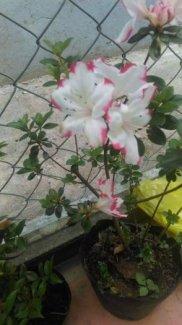 Đỗ quyên trắng viền hồng