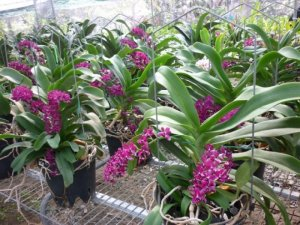 Bán các loại phong lan rừng, lan hồ điệp, lan dendro, lan đai châu chơi Tết