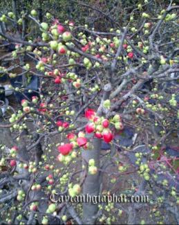 Mai đỏ trang trí cực đẹp cho mùa Tết thêm nhiều màu sắc