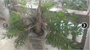 Phong lan long tử hoa màu tím trang trí rất đẹp