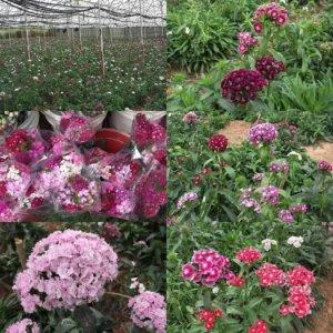 Hoa cẩm chướng Đà Lạt