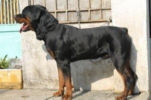 Phối giống chó Rottweiler, dòng thuần chủng