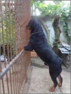 Phối giống chó Rottweilet dòng thuần chủng