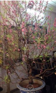 Cần gấp thanh lý cây hoa đào gốc bonsai làm kiểng rất đẹp