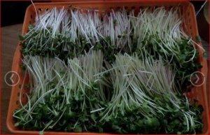 Khay xốp trồng rau mầm, hạt giống trồng rau- Gía thể xơ dừa