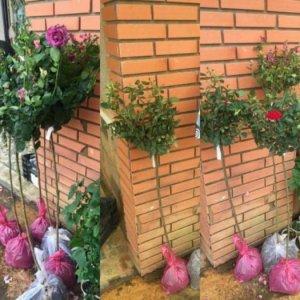 Bán giống Tree rose giá mềm