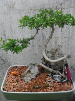 Bonsai Linh Sam leo đá dáng duyên.