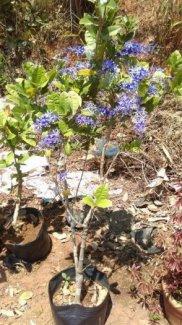 Mai xanh bonsai